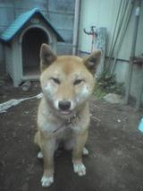 柴犬ヒロ_04
