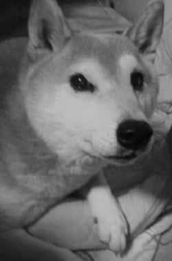 柴犬ヒロ-05