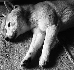 柴犬ヒロ-11