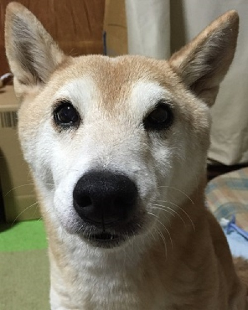 柴犬ヒロ-15