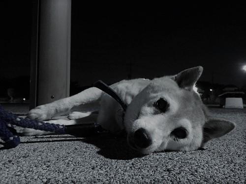 柴犬ヒロ-21