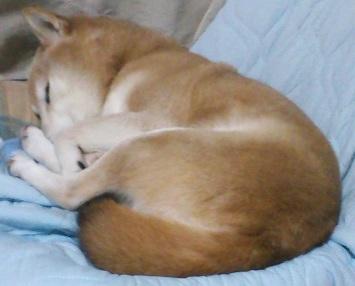 柴犬ヒロ-08