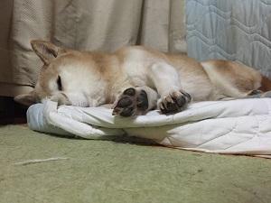 柴犬ヒロ-安眠