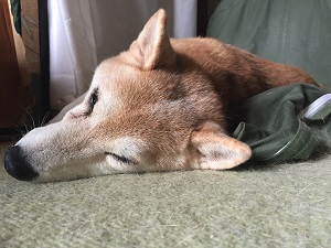 柴犬ヒロ-
