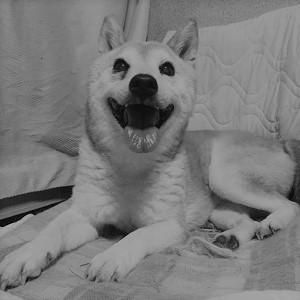 柴犬ヒロ-19