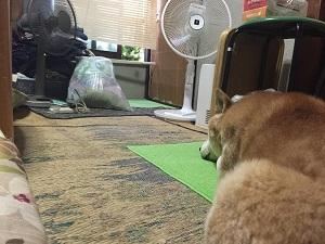 柴犬ヒロと夏-